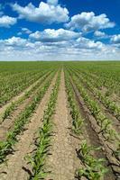 Mais, Mais, grüne Wiese Landschaft foto