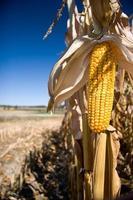 Mais mit Bauernhof (Porträt) foto