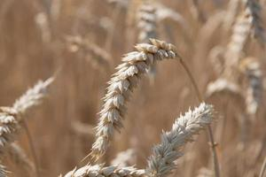 Weizen, Mais