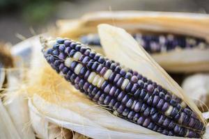getrockneter Mais für die Zucht, thailändischer Mais, schwarzer Mais. foto