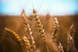 Weizenähre foto