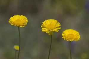 Wüstenwildblumen