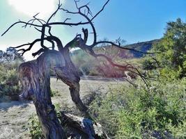 altes Wüsteneisenholz foto