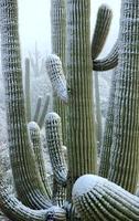 Schnee auf Saguaro foto