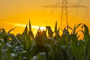 Stromleitung in einem gelben Himmel bei Sonnenaufgang im Sommer
