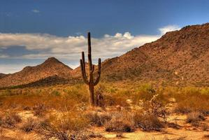 Wüstensaguaro foto