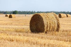 geerntetes hügeliges Weizenfeld mit Strohballen