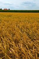Weizen und Mais foto