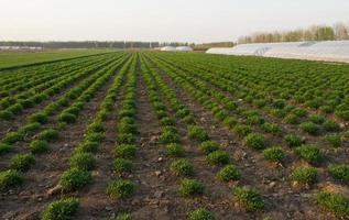 frisches Grün auf Feldfrühlingslandwirtschaft foto
