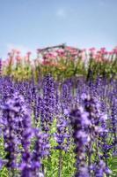 lila Salvia Blumen
