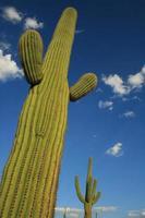 hoch aufragender Saguaro-Kaktus foto