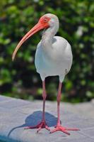 weißer ibis foto
