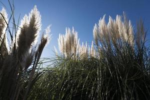 Pampa Gress und blauer Himmel foto
