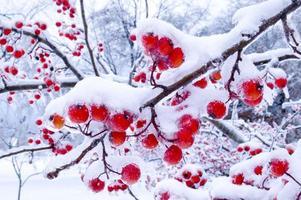 Winterbeeren foto