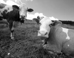 Kuh, die auf der Wiese in den Bergen weidet foto