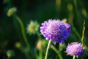 Blüte Sommerblume foto