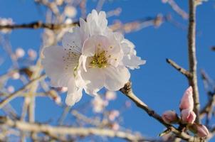 weiße Mandelblume