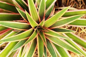 Blätter Ananas wachsen in der Natur.