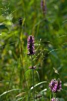 lila Betonie (stachys officinalis) in einer Waldnahaufnahme foto