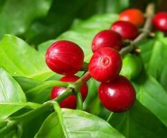 Nahaufnahmefoto von reifen Früchten auf Kaffeebaumzweig foto