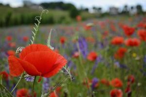 ländliche Landschaft - rote Mohnblumen foto