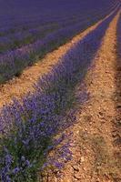 Lavendelfelder in Reihen gewachsen