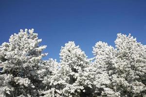 schöne Kiefern im Winterwald frostigen Wintertag foto
