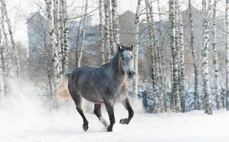 graues Pferd läuft im Winter
