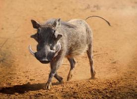 Warzenschwein läuft foto