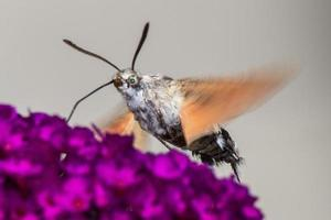Kolibri-Falkenmotte auf buddleja davidii foto