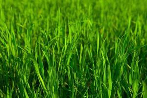 frisches grünes Gras foto