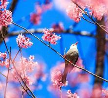 weißköpfiger Bulbul und Sakura foto