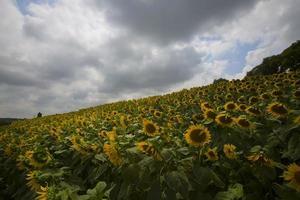 Sonnenblumenfeld foto