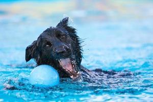 schwarzer Border Collie, der nach Spielzeug schwimmt foto