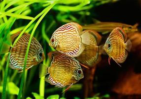Diskusfische (Symphysodon) schwimmen unter Wasser