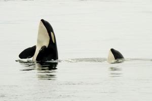 Zwei Orcas spionieren mit ihren Köpfen aus dem Wasser foto