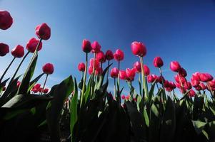 rote Tulpe foto