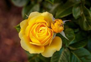 duftende Rose in voller Blüte foto