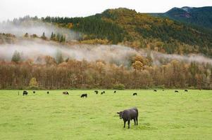 Kühe auf der Weide foto