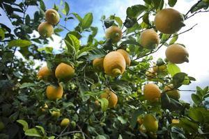 Zitronen wachsen auf Zitronenbaum foto