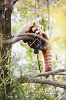 roter Panda foto
