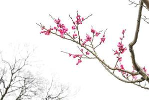Pflaumenblüte