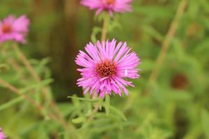 """New York Aster"" Blume - Aster Novi-Belgii foto"