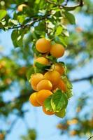 Kirschpflaumenbaum mit Früchten foto