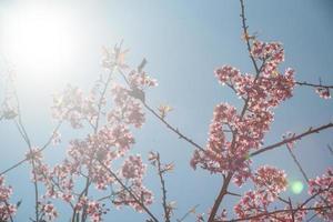 blühender Aprikosenbaum foto
