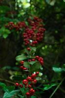 rote Beeren foto