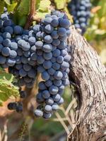 rote Trauben im Weinland, Südafrika foto