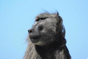 männlicher Pavian. Südafrika foto