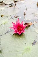 Wasser lilly Blumen foto