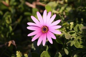 rosa Gazania Gänseblümchen